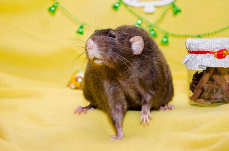 Black cute fluffy rat sits on a yellow background near the Christmas decorations, background for postcards, a symbol of the new year 2020 with copyspace Standard-Bild