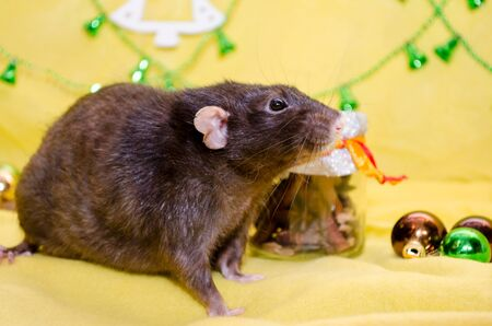 Black cute fluffy rat sits on a yellow background near the Christmas decorations, background for postcards, a symbol of the new year 2020 Standard-Bild
