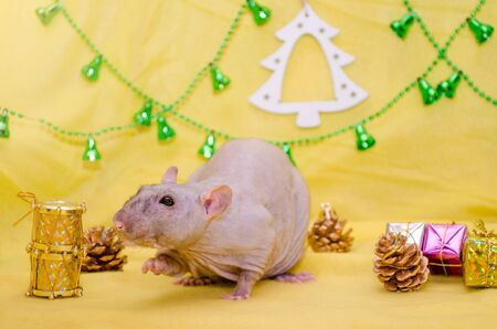 Bald gray rat sits near New Year gift boxes on a yellow background with a Christmas tree and bells, sniffing a drum, symbol of 2020
