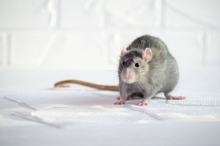Gray little blue and gray rat sits and afraid on a white floor with a brick wall, sniffs the air, symbol of new year 2020