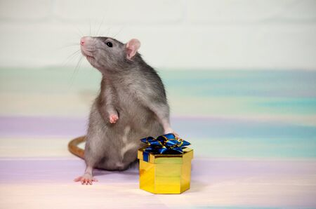 Gray cute funny festive rat on a rainbow background with a golden gift box with a bow, concept for a holiday card with a copyspace Banco de Imagens
