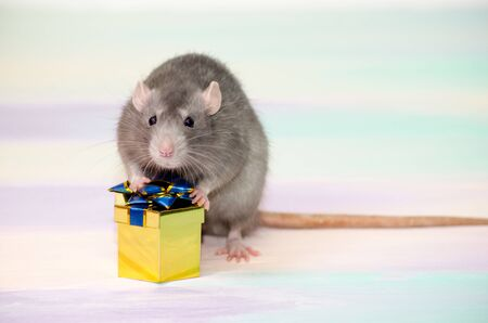 Gray cute funny festive rat on a rainbow background holds a golden gift box with a bow, concept for a holiday card with a copyspace Banco de Imagens