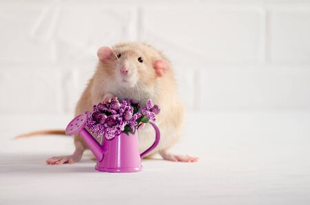 Light brown rat dambo with funny ears sits on a white background with a watering can with purple flowers, a concept for a spring or woman day and for greeting card Banco de Imagens