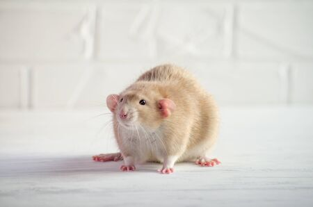 Light brown little rat sits on a white floor with a brick wall, symbol of new year 2020, with copyspace