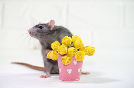 Gray rat sits on a white background near a bucket with yellow flowers, a concept for a spring or woman day and for greeting card with copyspace