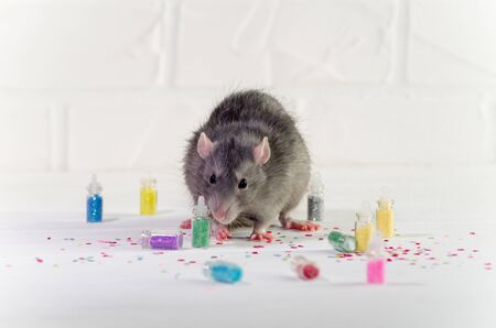 Gray rat sits on a white background near a bottles with sparkles, a concept for a new year or nail service or for greeting card with copyspace