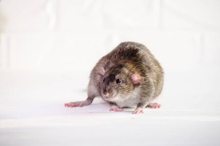Gray little rat dumbo sits and afraid on a white floor with a brick wall, sniffs the air, symbol of new year 2020