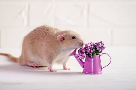 Light brown rat dambo with funny ears sits on a white background with a watering can with purple flowers, a concept for a spring or woman day