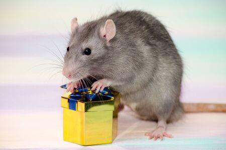 Gray festive rat on a rainbow background holds a golden gift box with a bow, concept for a holiday card with a copyspace
