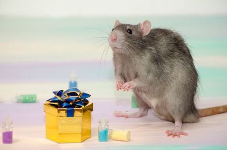 Gray cute funny festive rat on a rainbow background with a golden gift box with a bow and bottles, concept for a holiday card with a copyspace Banco de Imagens