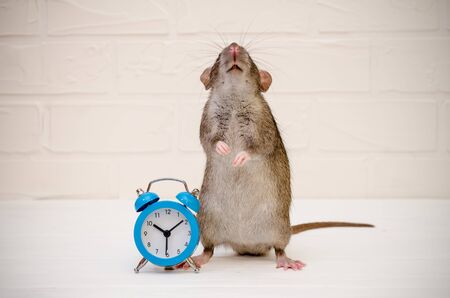 Gray rat or mouse sitting with a blue retro alarm clock on a white background with a brick wall and looking up. The concept of beging time, morning, deadline, new year with copyspace