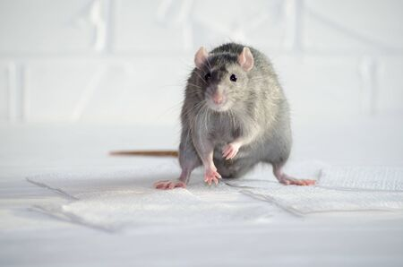 Gray little blue and gray rat sits on a white floor with a brick wall, sniffs the air, symbol of new year 2020 Banco de Imagens