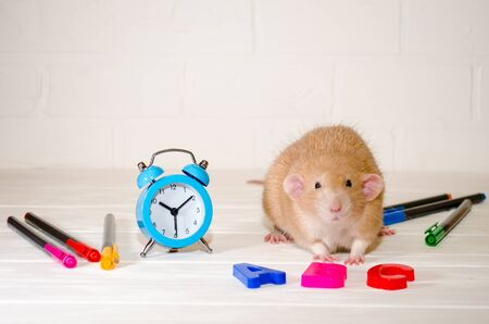 Red rat sitting with a blue alarm clock, letters abc, colored pens on a white background with a brick wall. The concept of education, school, time, morning with copyspace Banco de Imagens