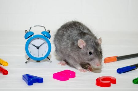 Gray rat or mouse sitting with a blue alarm clock, letters abc, colored pens on a white background with a brick wall. The concept of education, school, time, morning with copyspace