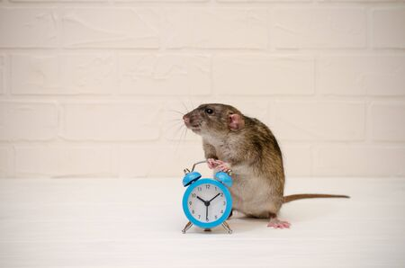 Gray rat or mouse sitting with a blue retro alarm clock on a white background with a brick wall. The concept of time, morning, deadline, new year with copyspace