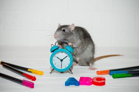 Gray rat sitting with blue alarm clock, letters abc, colored pens on white background with a brick wall. He holds watch with his paws. The concept of education, school, time, morning with copyspace