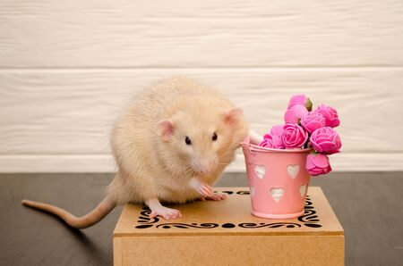 White rat sits on a beautiful openwork wooden stand with a present bucket of pink rose flowers, on black and white wooden background. Picture for a greeting card.