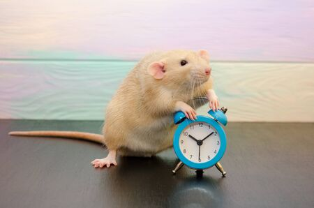 White rat or mouse sitting with a blue retro alarm clock on a black and rainbow background. The concept of time, morning, deadline, new year with copyspace
