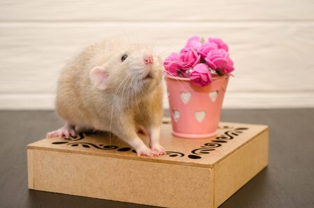 White rat sits on a beautiful openwork wooden stand with a bucket of pink rose flowers, on black and white wooden background. Picture for a greeting card.