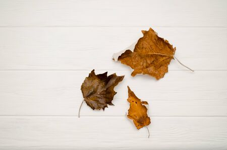 Autumn background for text. Three brown and orange dry leaves on a white wooden background with copyspace
