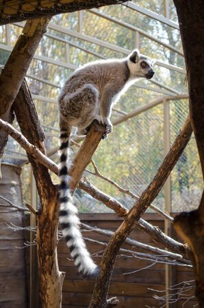 Beautiful playful lemur with a long tail in autumn, sits on wooden branches in the sun Banco de Imagens