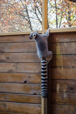 Beautiful playful lemur with a long tail hangs on a wooden fence in autumn