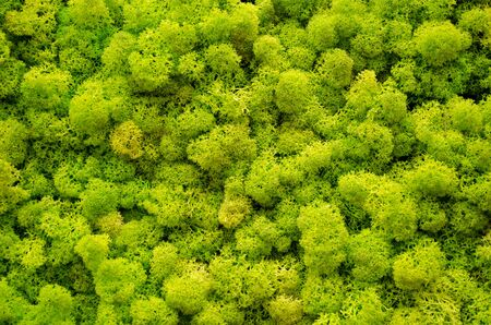 Reindeer moss wall, a green wall decoration made of reindeer lichen Cladonia rangiferina, usable for interior mock ups