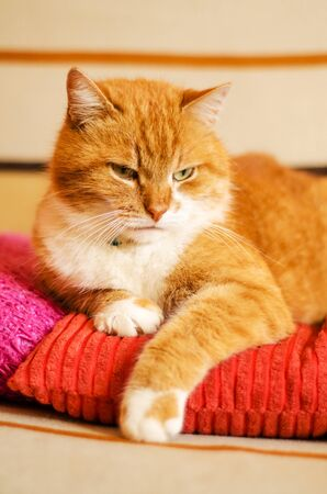 Portrait of a serious ginger cat sitting on orange and pink pillows and looking at the camera, vertically oriented