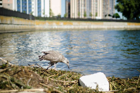 Sick skinny cormorant with a weak wing walks along the banks of the river and grass and garbage. Embankment of the city against the background of high-rise buildings