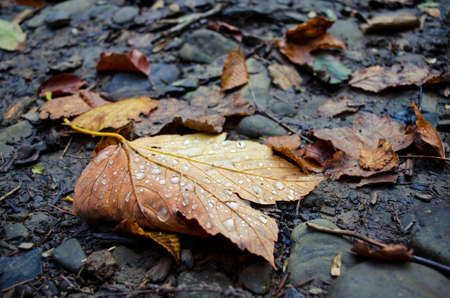 Orange autumn leaf with water drops lies on wet black ground in autumn in the forest in twilight