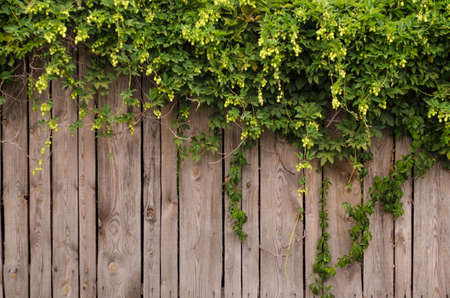 Green twigs and buds of hops hang from a wooden fence in the village, with copyspace