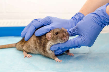 Gray rat at veterinarian doctor appointment with hands in blue gloves, examination of a rat health