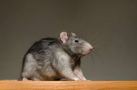 Small fluffy gray rat sits on a table in the rays of the sun, with a large mustache and looks curiously