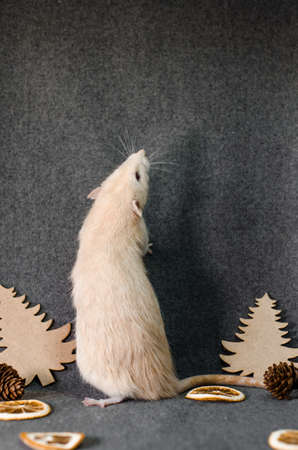 White rat stay in christmas trees, orange slices and cones on a gray background, healthy food and nutrition concept