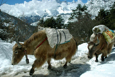 go up: Yaks go up in the Himalaya.