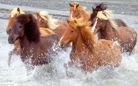 iceland: Horses run across the river