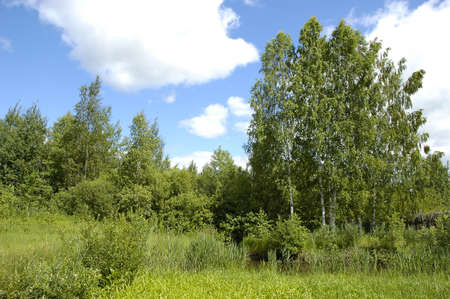 clearing the path: Birch trees Stock Photo