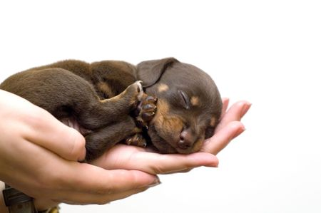 puppy sleeps on the girls hand