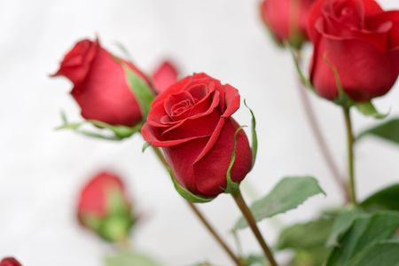 bouquet of the red roses on white background Stock Photo