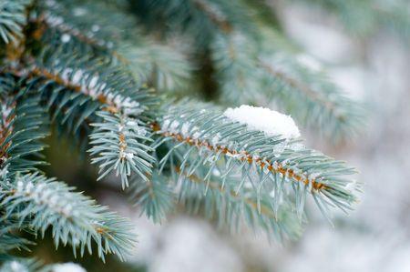 snowbound: snowbound branch of fir Stock Photo