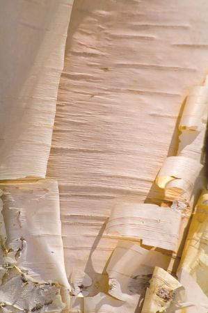 Cortex details of Birch Tree (Betula verrucosa). Stock Photo