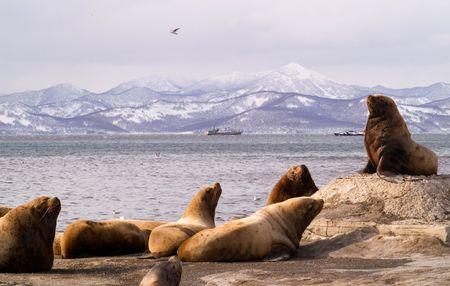 Rookery sea lions beside seasides Kamchatka. Stock Photo