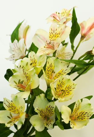 gentile: bouquet gentile lily on light background