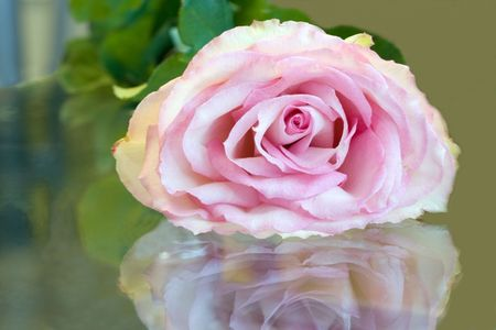 gentile: beautiful gentile rose is reflected in glass of the surfaces Stock Photo