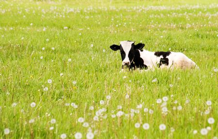 peers: calf rests upon flowering meadow and peers into camera Stock Photo