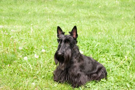 black scottish terrier on background of the herb