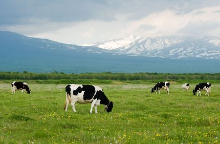 Cows grazing on a green pasture near mountains Stock Photo
