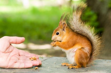 red squirrel eating in the hand photo