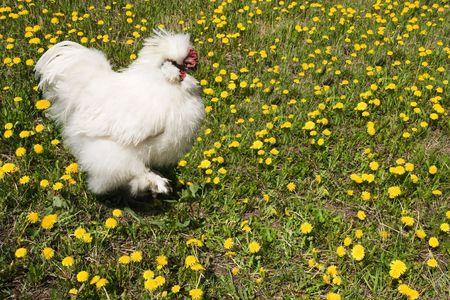 sort: white cock of the decorative sort walks  in dandelions