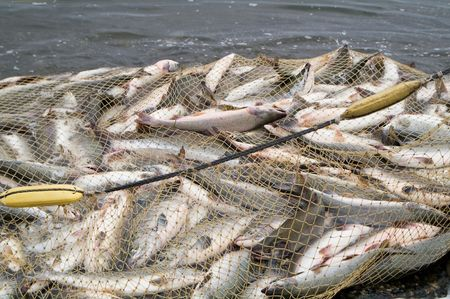 redes pesca: industriales de captura de salm�n de redes